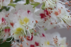 White chestnut flowers pretty close up