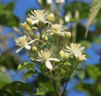 Clematis Bach flower remedy